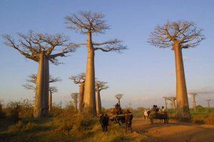 baobab_trees